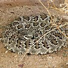 Mohave Rattler ~ Deadly Patience by Kimberly P-Chadwick