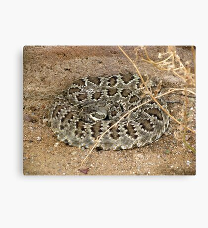 Mohave Rattler ~ Deadly Patience Canvas Print