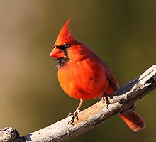 Colorful Cardinal. by Gregg Williams