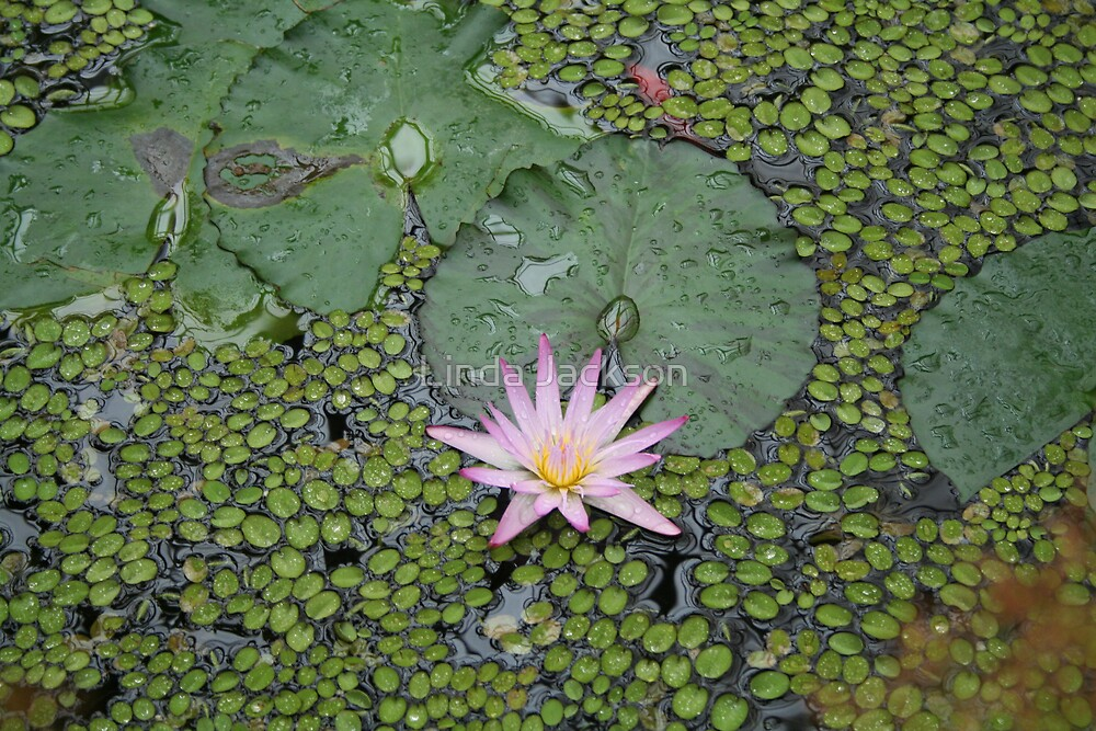 Water lily by Linda Jackson