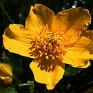 Marsh Marigold, by AnnDixon