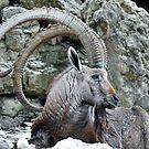Nubian Ibex  by Dennis Stewart