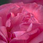 Rose  by lightphotos