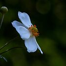 Japanese Windflower by Ian English