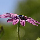 African Daisy - Single Stem by taiche