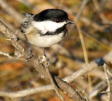 Black Capped Chickadee by Max Buchheit