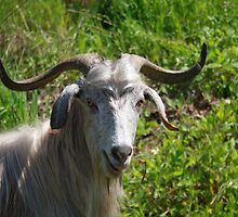 Portrait of A Horned Goat Grazing by taiche