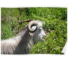 Side View of A Billy Goat Grazing Poster
