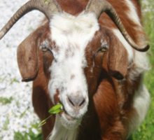 Whimsical Portrait of a Horned Goat Grazing Sticker