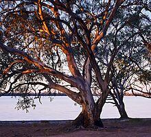 River red gums by auscape