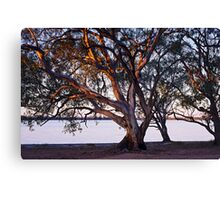 River red gums Canvas Print