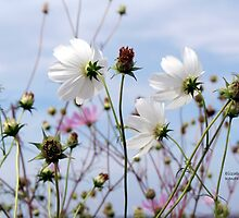 Cosmos in April by Elizabeth Kendall