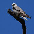 Black-shouldered Kite. by Norman Winkworth