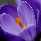Crocus by AnnDixon