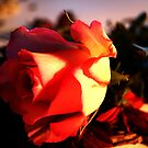 A Rose by shakey123