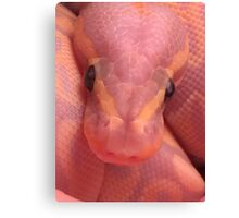 Mango the banana ball python Canvas Print