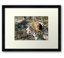 Cheetah portrait, up close and personal Framed Print