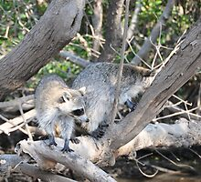 wild racoons by amyklein196203