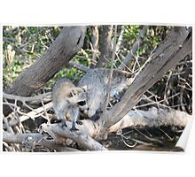 wild racoons Poster