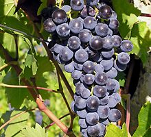Ripe Sangiovese grapes, Umbria, Italy by Philip Mitchell