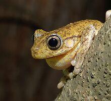Peron's Tree Frog by Andrew Trevor-Jones