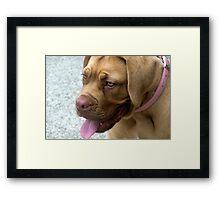 Dogue de Bordeaux.....puppy Framed Print