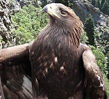 The Golden Eagle by Bellavista2
