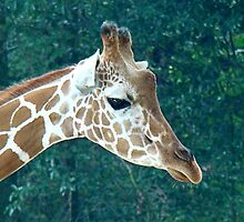 Giraffe by Amy Goode