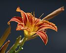 Day Lilly by Todd Weeks