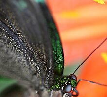A green butterfly... by Isabelle Lafrance