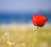 Kefalonia Poppy by David Bradbury