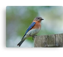 March Bluebird  Canvas Print