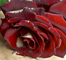 Burgundy Rose by Svetlana Sewell