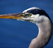 Great Blue Heron - Left Profile by Stephen Beattie