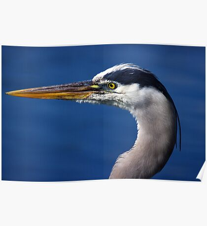 Great Blue Heron - Left Profile Poster