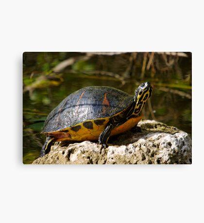 Happy Florida Redbelly Turtle Canvas Print