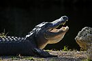Basking 'Gator by Stephen Beattie