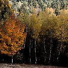 Maple Among Birches by Wayne King
