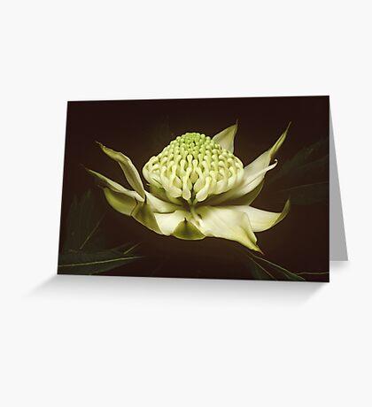 White waratah (Telopea speciosissima cv) Greeting Card