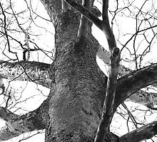 Large Sycamore by Cassy Greenawalt