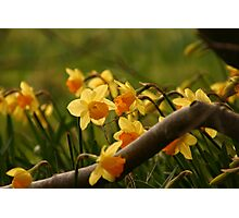 Daffy in the Woods Photographic Print