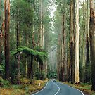 Black Spur, Yarra Ranges, Victoria. by Ern Mainka