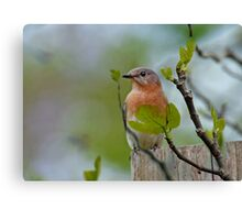 Dreaming of Bluebirds Canvas Print