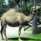 Camel Dance by Donna Adamski