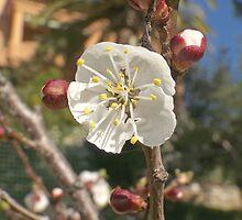 Apricot flowers by jean-louis bouzou