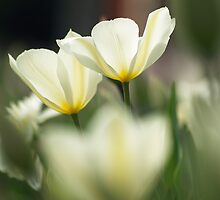 2 tulips by narabia