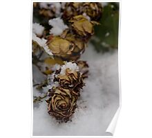 rose in the snow Poster