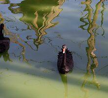 reflection with 2 black Swans by Wieslaw Jan Syposz