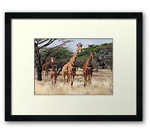 RETICULATED GIRAFFES - SAMBURU Framed Print