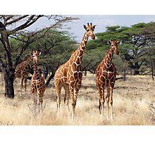 RETICULATED GIRAFFES - SAMBURU Photographic Print